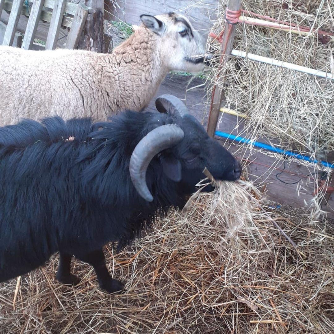 Kameruner Schafe, Zierzow, Mecklenburger Landgeister