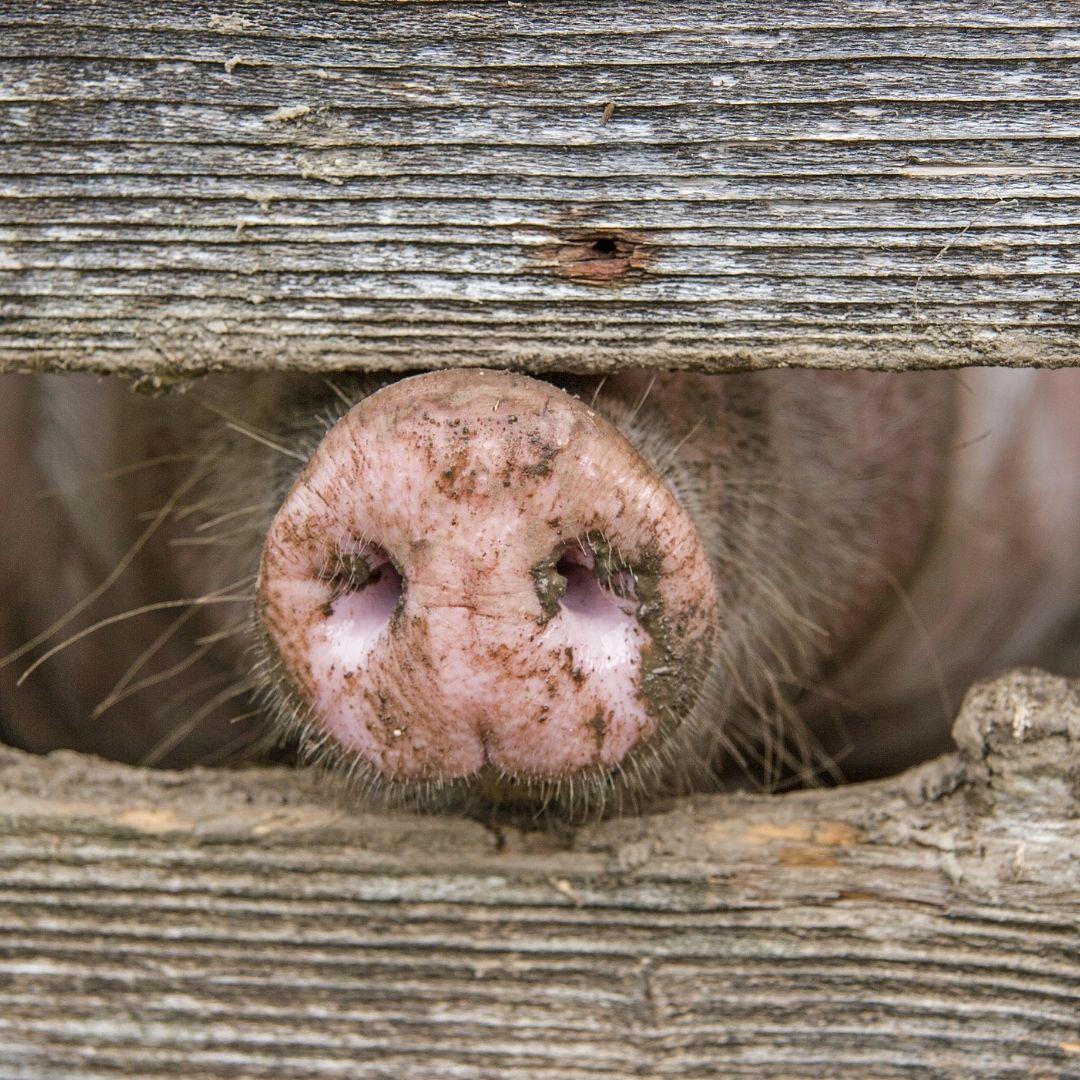 Schweine, Mecklenburger Landgeister, Hof Zierzow